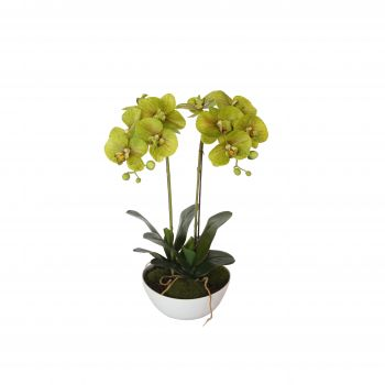 50cm Dual Butterfly Orchid Cream